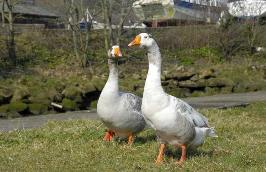Wild geese can often be spotted down on the river bank