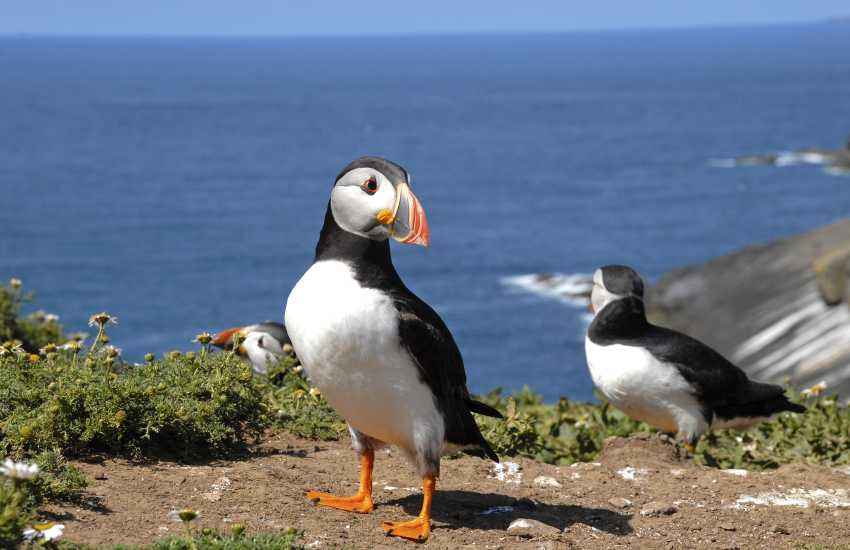 Visit Skomer Island and watch the cheeky puffins come and go - delightful!