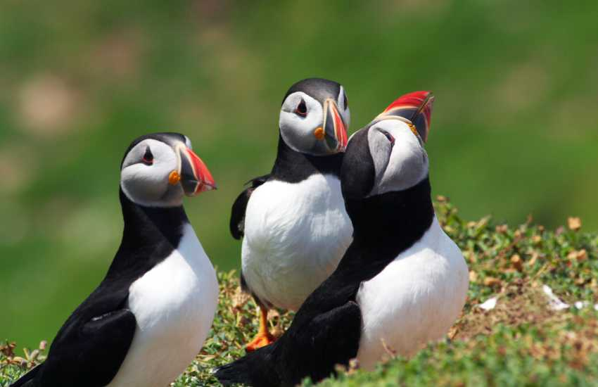 Skomer marine wildlife - wonderful seals, dolphins, gannets and the puffins are a delight in early summer