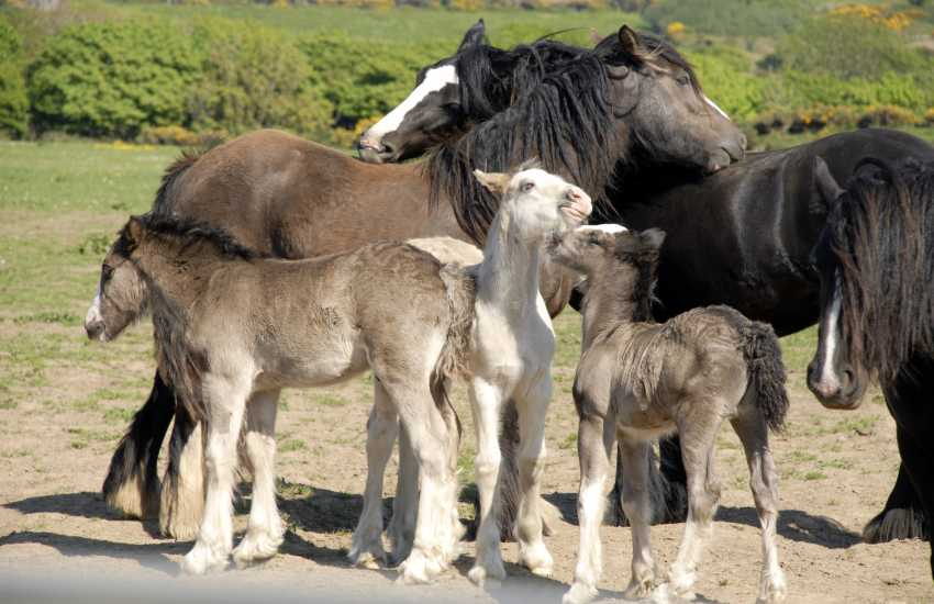 Ponies and their foals enjoying the sunshine near St Davids
