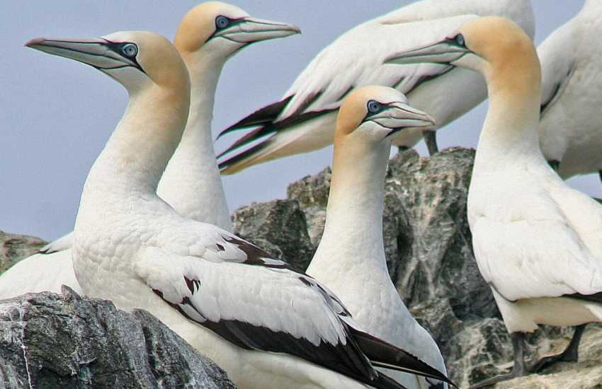 The beautiful white Gannets which breed on Grassholm Island. Boat trips are available