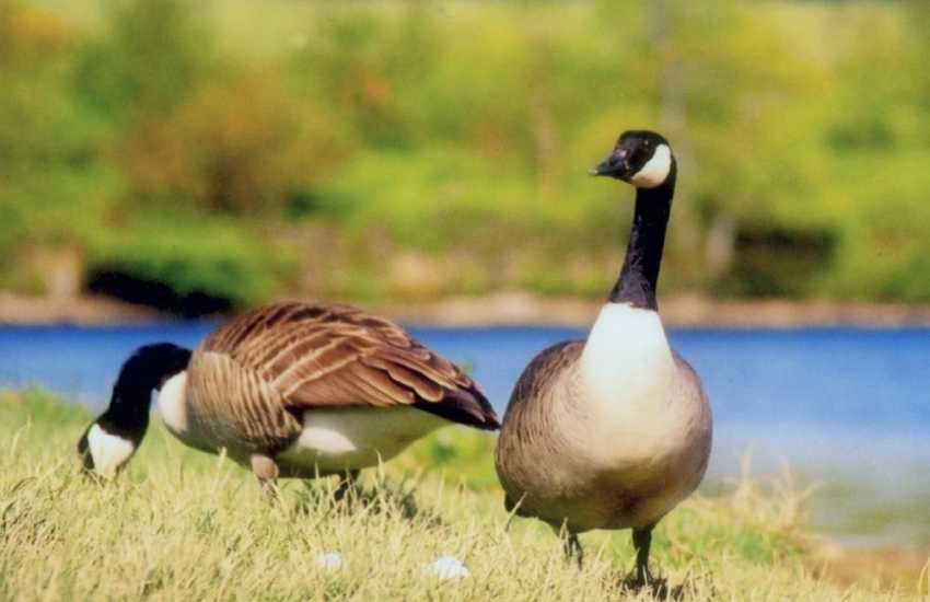 Canada Geese may often be seen feeding on the banks of the lake at Llys Y Fran Dam