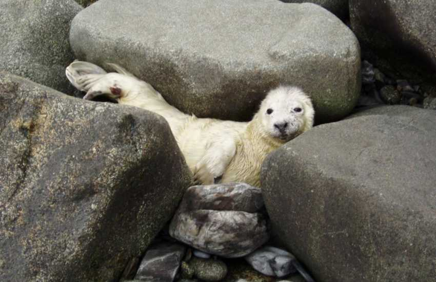 A grey seal pup hides among the rocks during the autumn breeding season