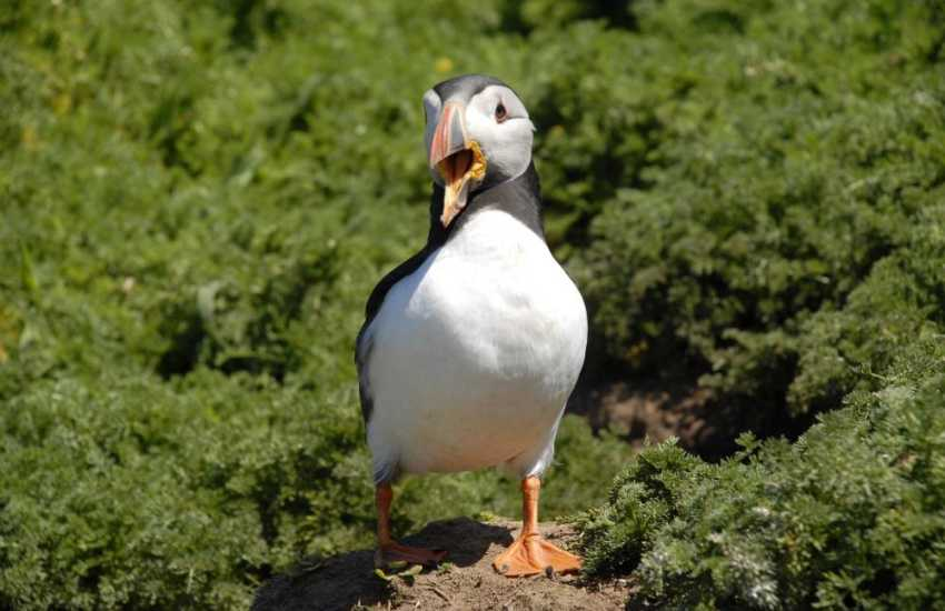Puffins are sure to delight on Skomer Island in the spring.