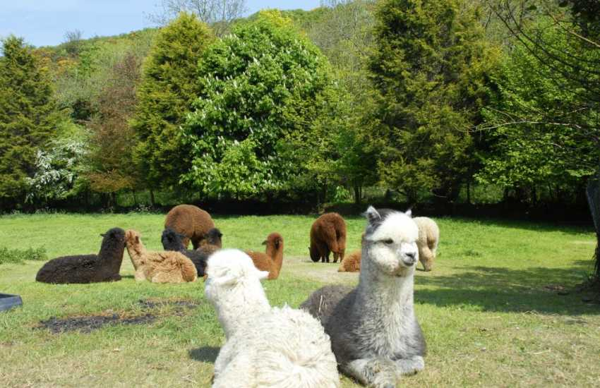 Alpacas enjoying the summer sun in Middle Mill - quite an unusual sight!