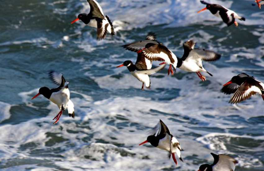 Oyster catchers of the coast are just one of many seabirds you are likely to see