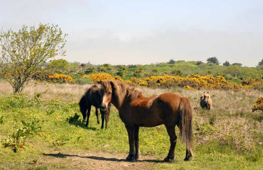 Wild ponies graze on Solva Common