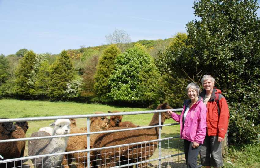 Alpacas can be spotted enjoying summer sunshine in The Solva Valley near the village of Middle Mill