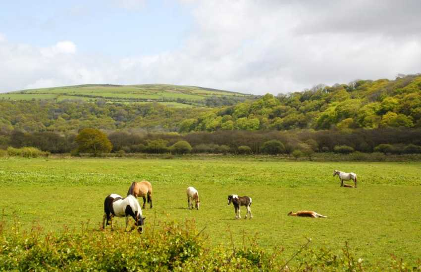 Ponies grazing in the lush green fields of the Gwaun Valley. Plenty of trails and woodland walks to explore