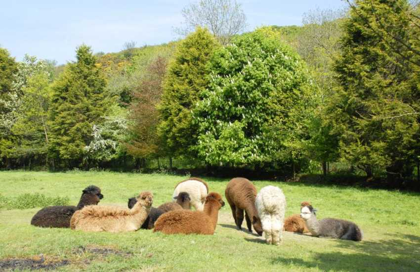 Alpacas enjoying the summer sun can be spotted on the way  to nearby Middle Mill