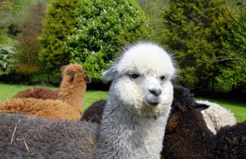 'Alan the Alpaca' - these graceful creatures can be spotted enjoying summer sunshine in fields near Middle Mill
