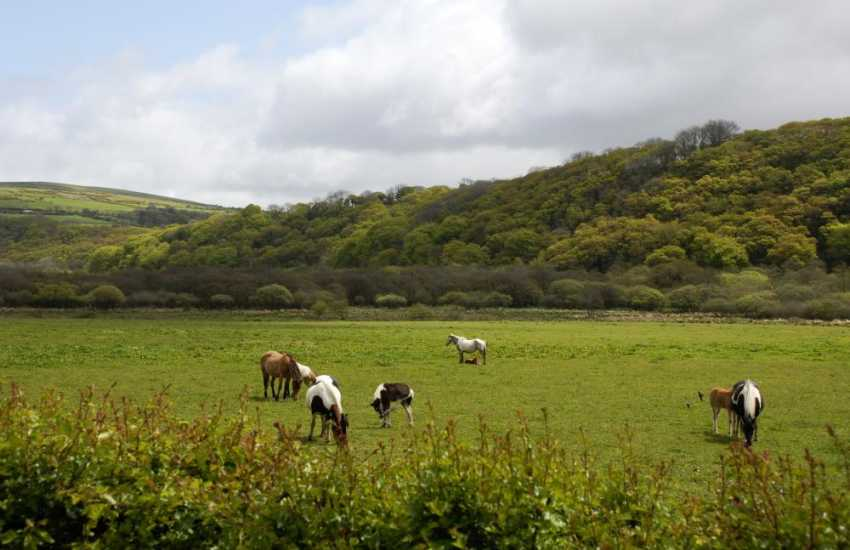 Ponies grazing in the peace and tranquility of The Gwaun Valley Pembrokeshire.