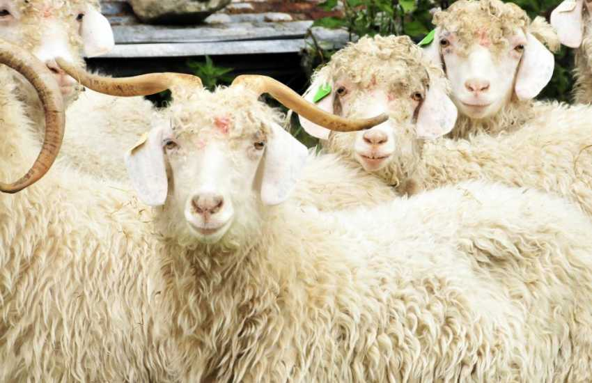 Home reared Angora goats at the Preseli Mohair Centre in Mynachlog ddu