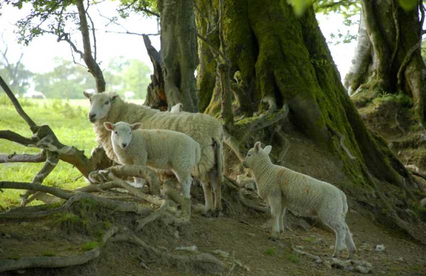 Lambs can often be seen up on the surrounding mountain side during springtime