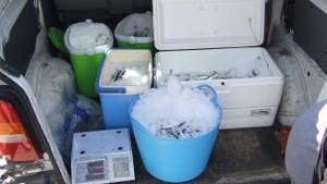 Intervinguts a L'Escala 200 quilos de peix que no reunia garanties per a la venda