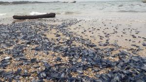 Milers de Barquetes de Sant Pere a la Plaja de l'Escala