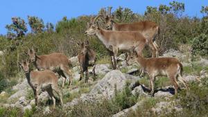 El Parc a la Ràdio - El Parc Natural es gestionen les cabres salvatges