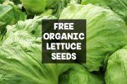 lettuce-696x461_pjpviv