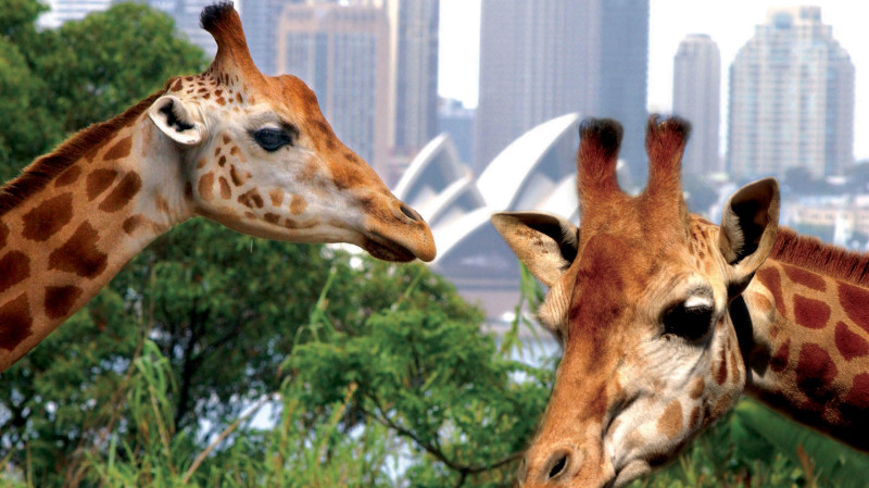 RedBalloon Sydney Harbour Cruise with Taronga Zoo Entry - Adult