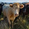 Cattle hero