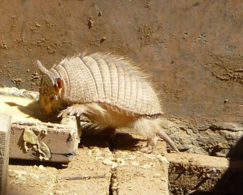 Andean Hairy Armadillo.