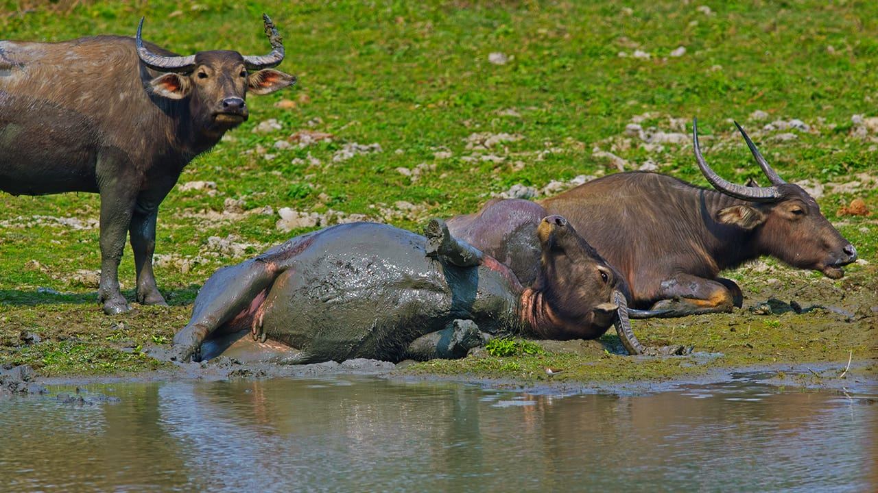 The Buffalo that explored his Wild Side