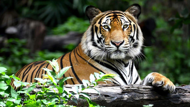 Seek The Tiger, Find The Jungle