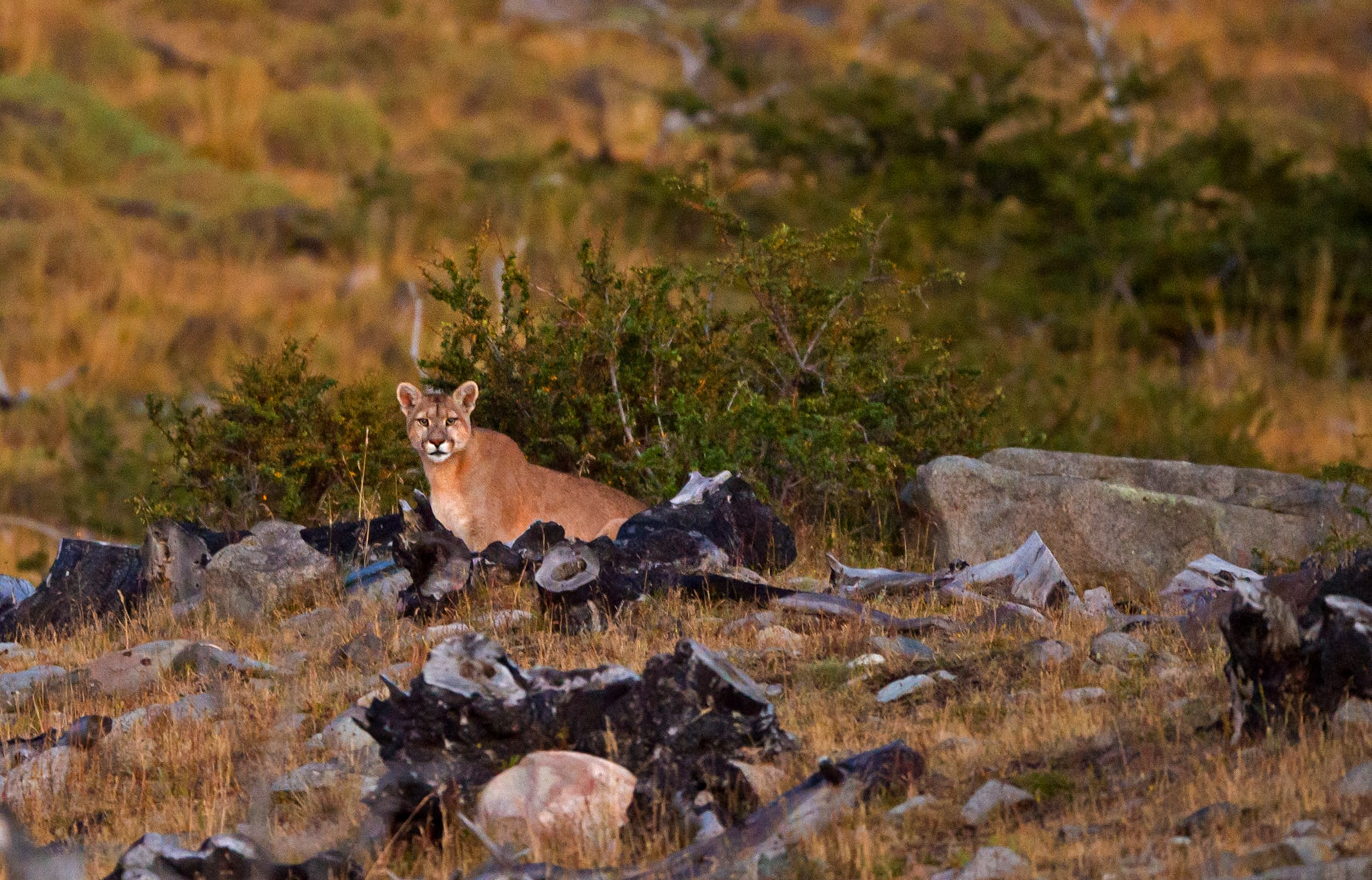 Solitary hunters, the pumas of Torres del Paine are among the largest seen in South America. This particular puma was big, probably a male, and very shy. We'd spotted its kill the previous night and came back in the morning to see if we could track it.