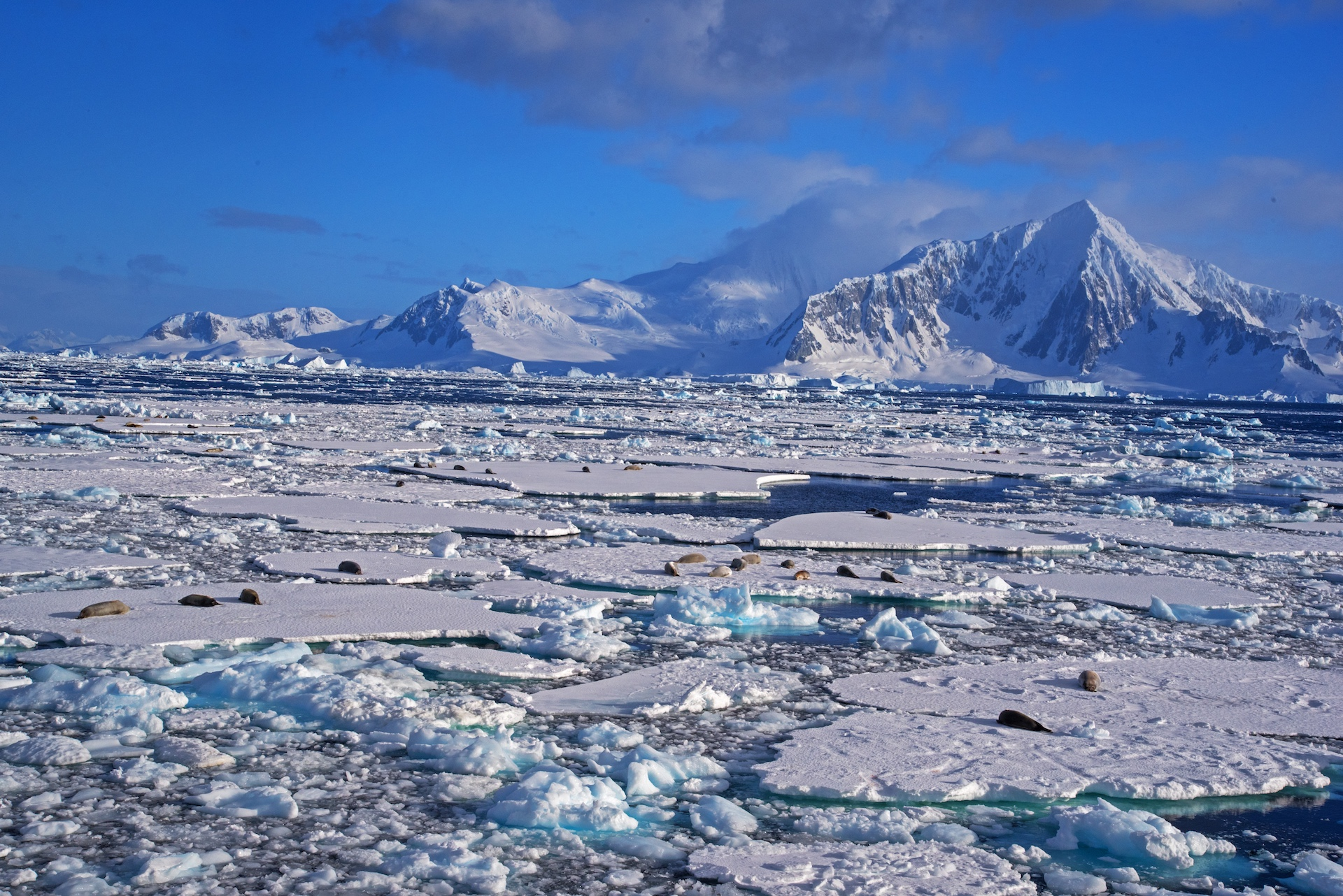 The landscape changes dramatically once you enter the Antarctic Peninsula. Invariably, you're looking at one of three things: rock, icebergs that form from freshwater, and sea ice that forms from saline water that freezes. Sea ice is a favoured haunt of the crab-eating Antarctic seal, pictured here.
