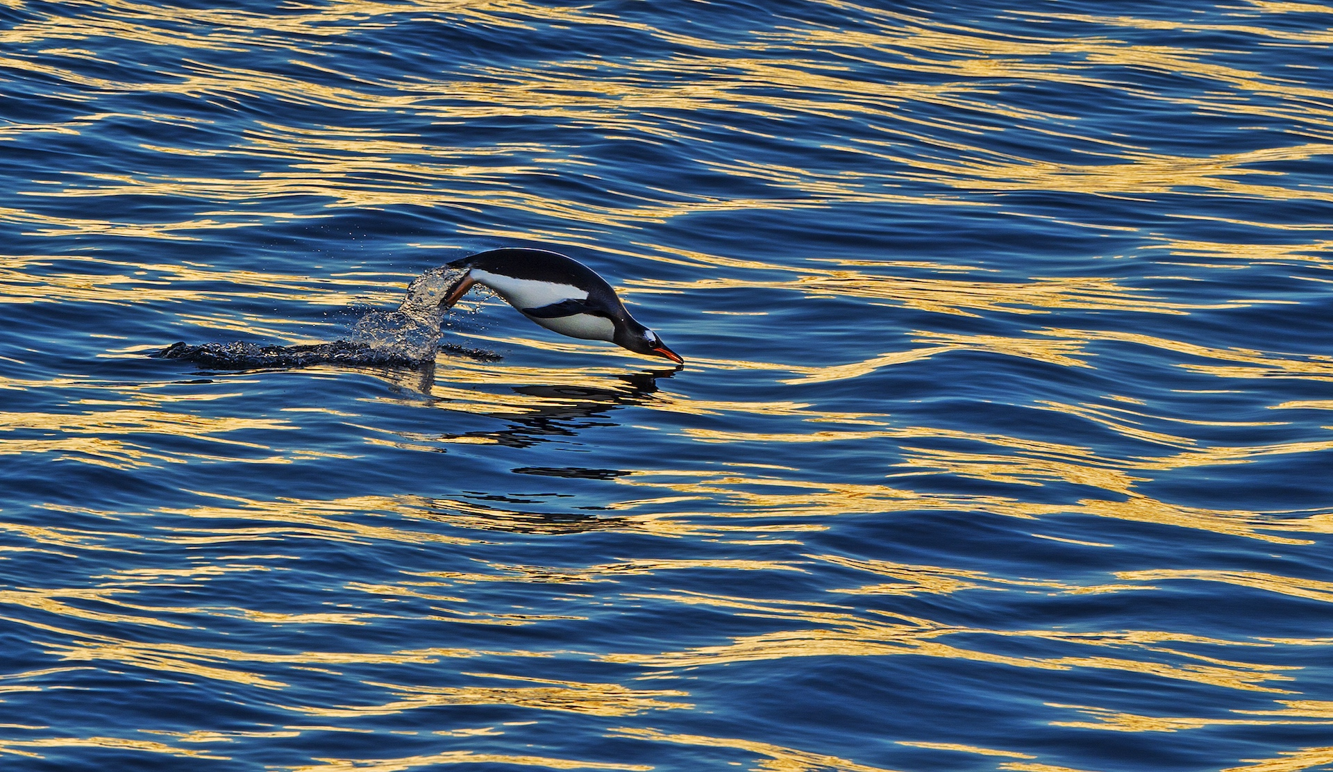 Gentoos are curious, approachable, and expert swimmers, and spend much of their time hunting for fish and squid. Underwater, they can reach speeds of 35 kmph, and are the fastest diving bird in the world.