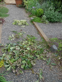 detritus from hellebore pruning spree