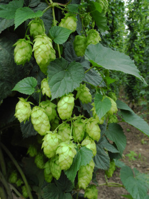 Fresh hops growing in Oregon
