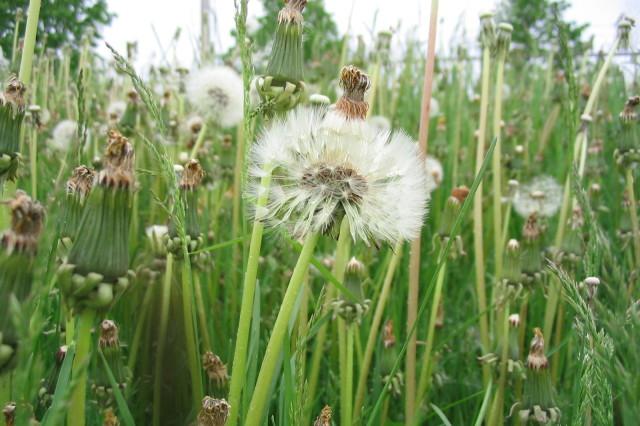 Weeds in waterloo  ontario qyt4xb
