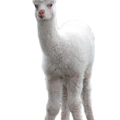 1112 enchanted alpaca clothing x26llq