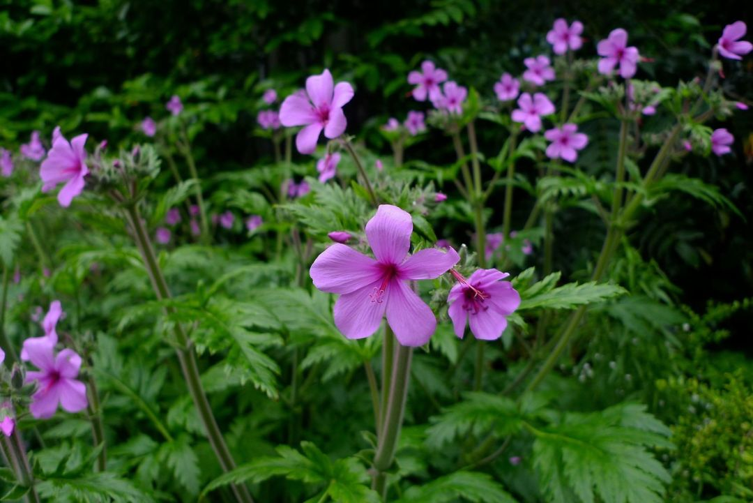 A gentle giant gorgeous geraniums portland monthly made for shade this super bionic looking hot pink geranium will inspire curiosity and plant lust mightylinksfo