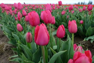 wooden shoe tulip fest, tulips