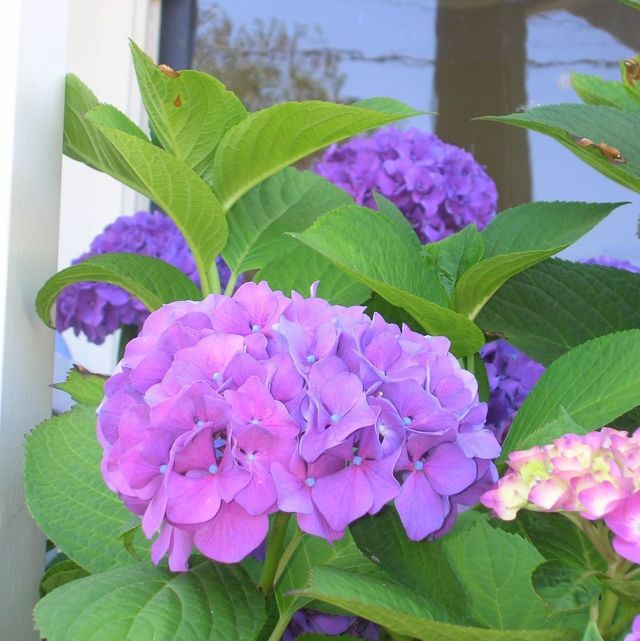 Purplehydrangea uuzqwq