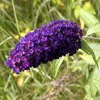 Buddleia black knight bfywhi