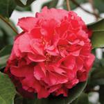 Camellia zdrkpu