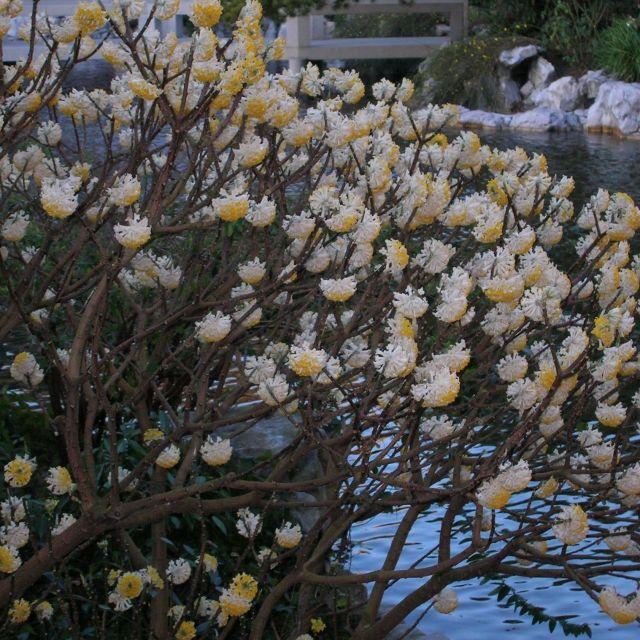 Edgeworthiachrysantha d1vexz