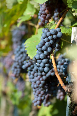Pinot Noir Oregon Grapes