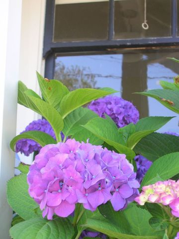 old fashioned purple hydrangea