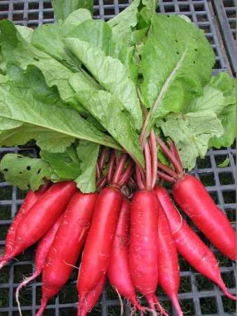 crimson lady finger radish, asian radish, new dimension seed