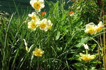 Narcissus la belle mucva1