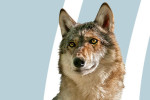 Thumbnail for - Will Wild Wolves Survive in Oregon?