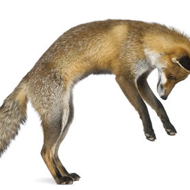 0812 fox r1bs3c