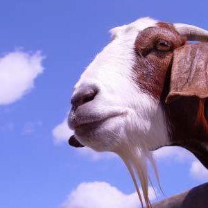 Goat xnhu4k