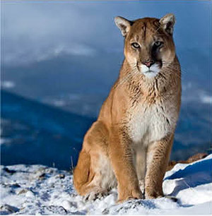 0714 fauna finder mountain lion zd7mm9