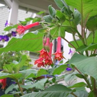 Fuchsia speciosa fkoe03