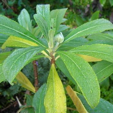 Edgeworthia chrysantha  xtjyhc